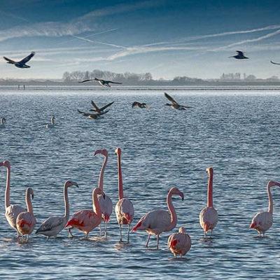 flamingos_battenoord