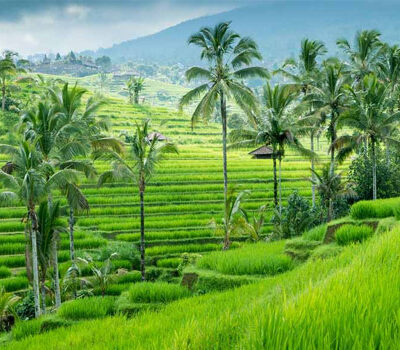 door-een-warmer-en-natter-klimaat-en-meer-CO2-zal-er-meer-rijst-worden-geoogst